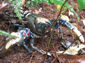 Spiny Blue Crayfish