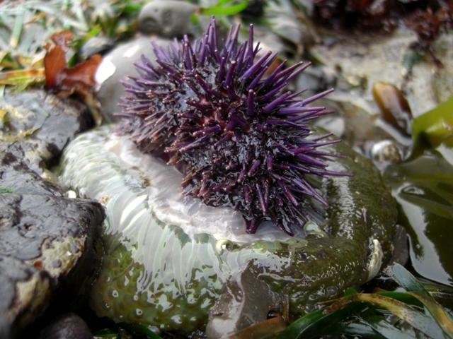 Anemone Eating Urchin