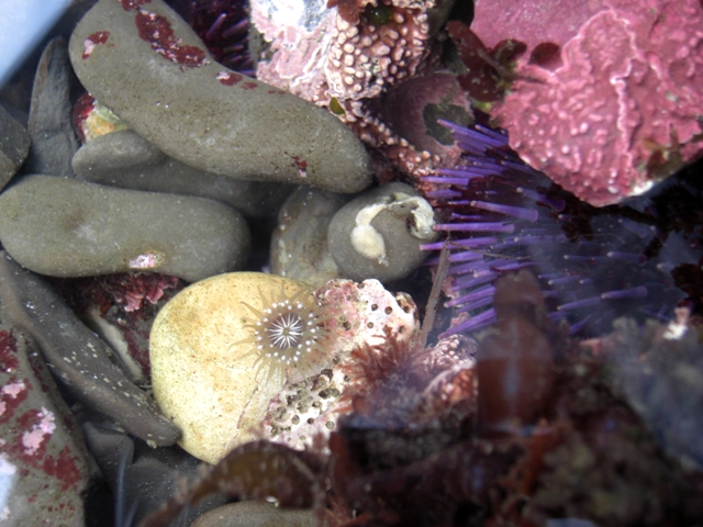 Proliferating Anemone