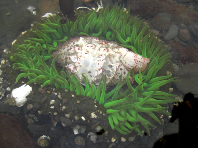 Sea Anemone Eats Crab at FRM
