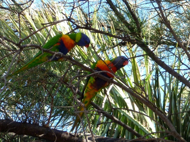 Parakeets along the Swan Estuary Marine Reserve