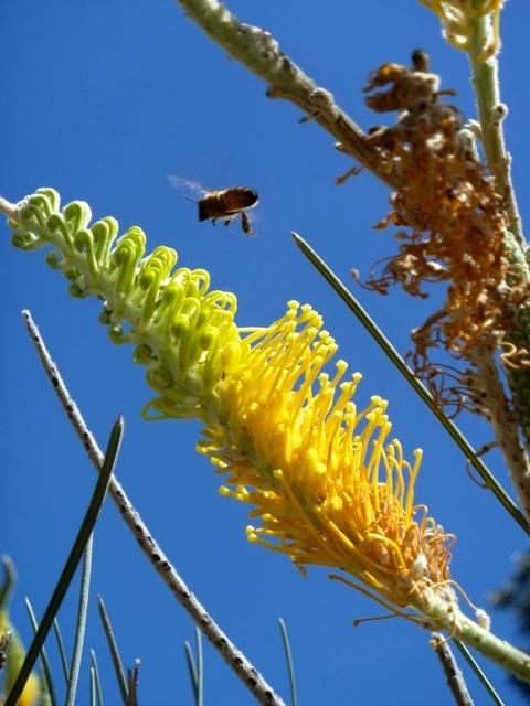 Wildflower in Kings Park