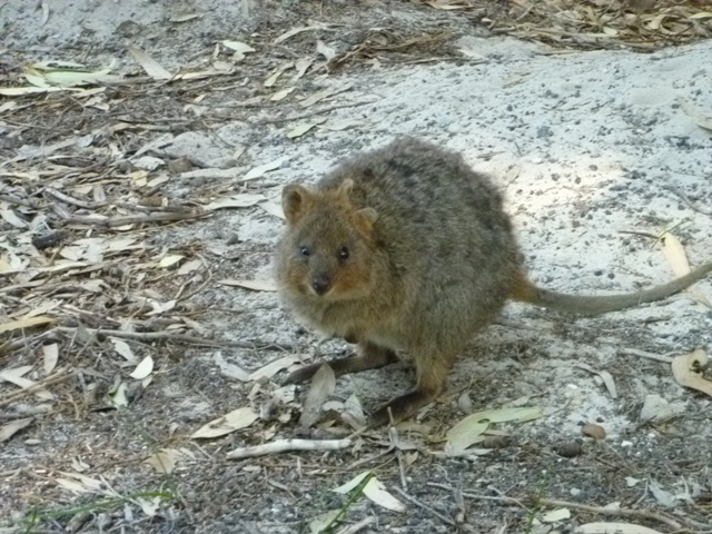 Quokka sighting!