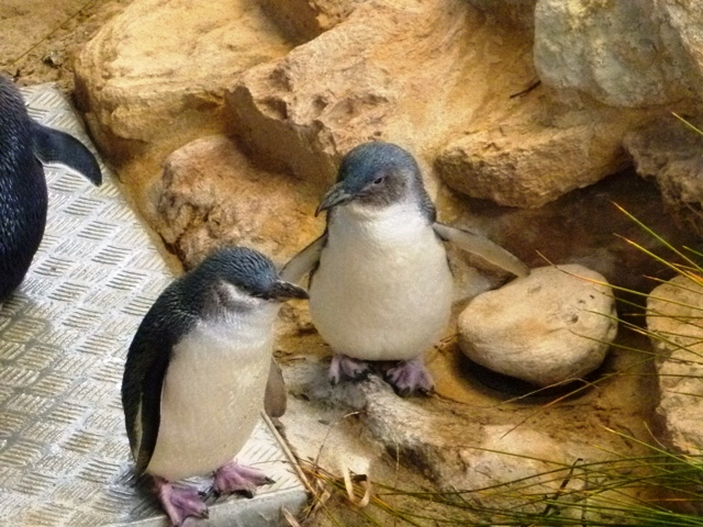 Fairy Penguin Feeding