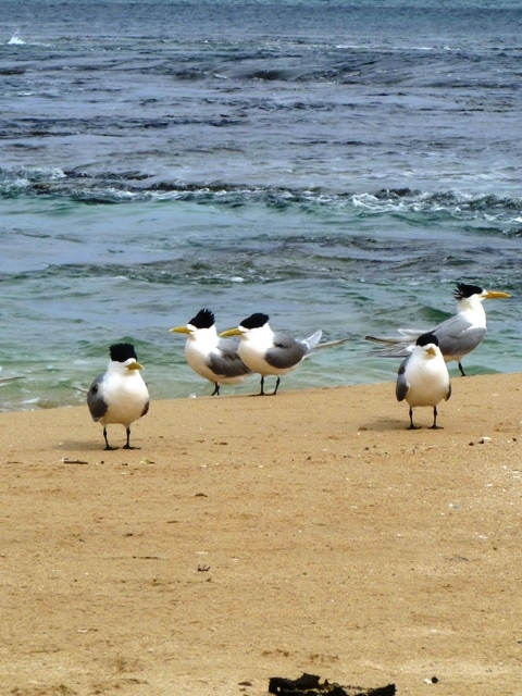 Another view of the Crested Terns