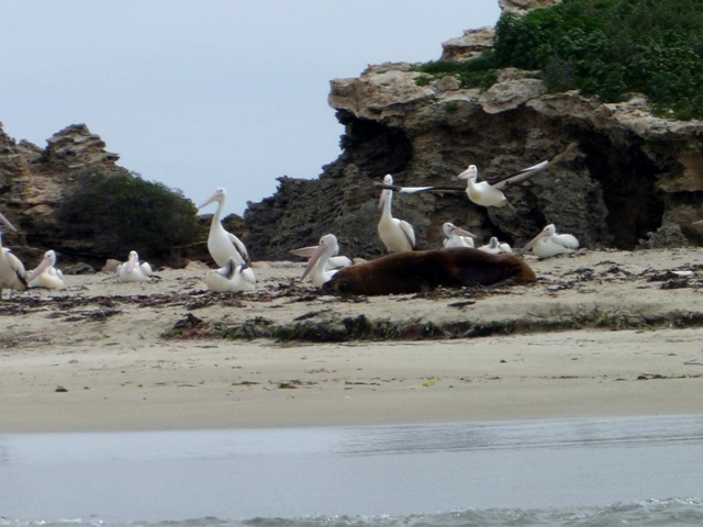 Pelicans on Seal Island