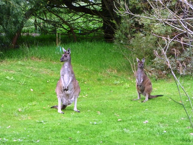 Roos in yard