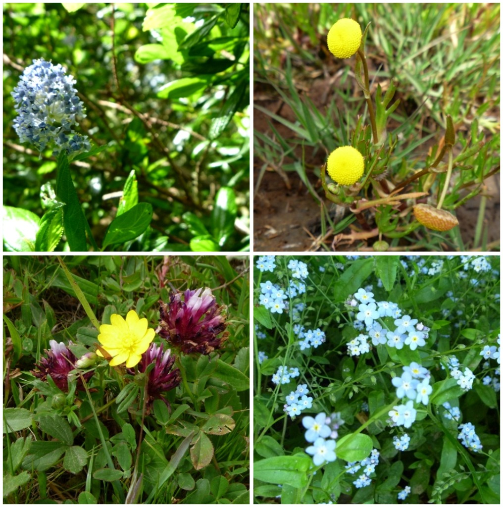 Blue Blossom, Tansy, Buttercup (with Cow Clover), and Forget-Me-Nots (I think)