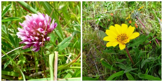 Cow Clover and Mule's Ear