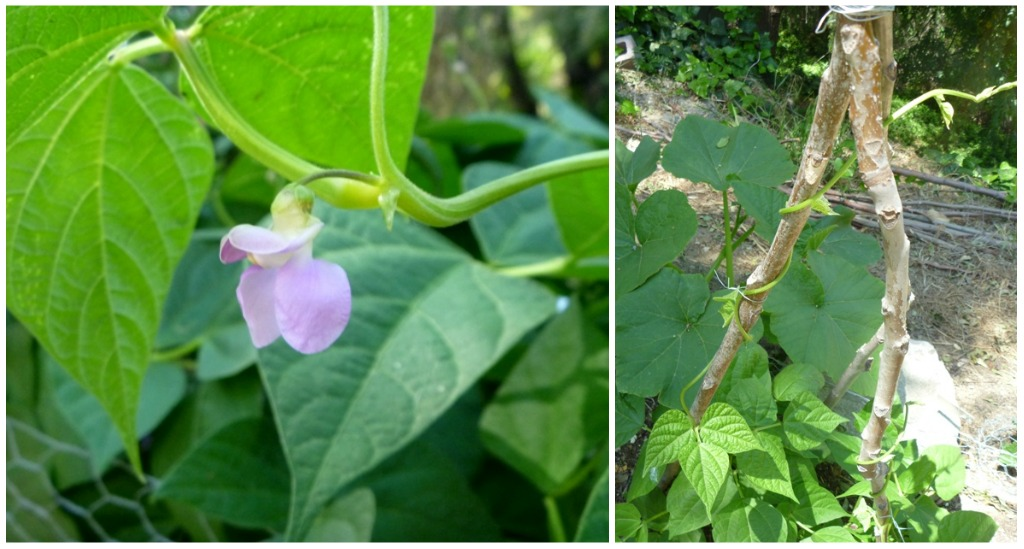 Bean bloom and vine